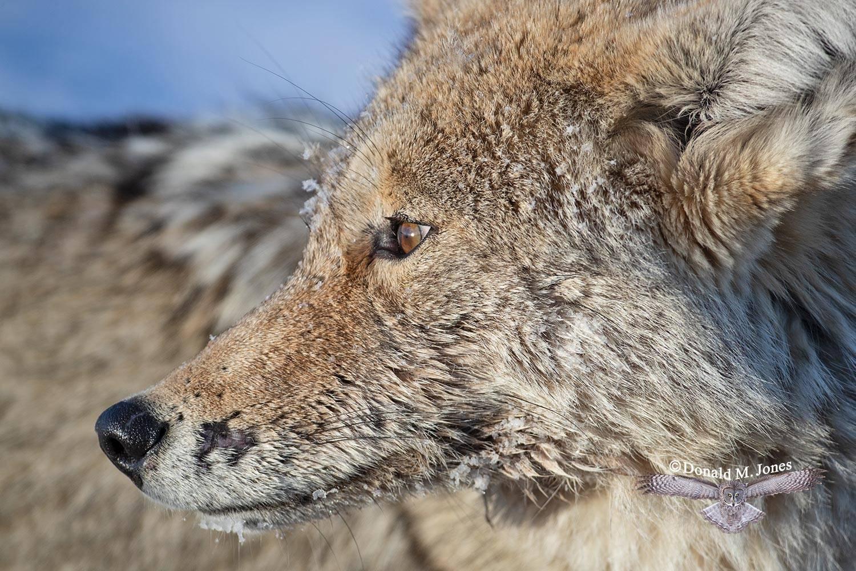 Coyote2673D