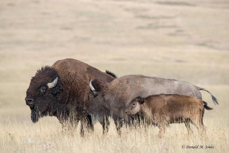 American-Bison02023D