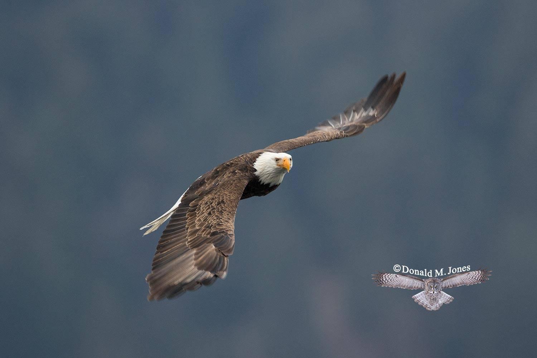 Bald-Eagle0975D