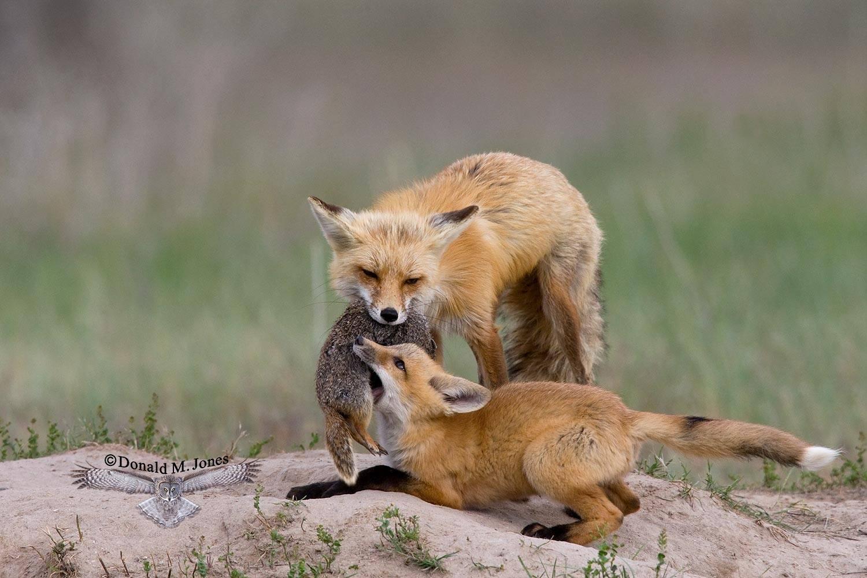 Red-Fox0697D