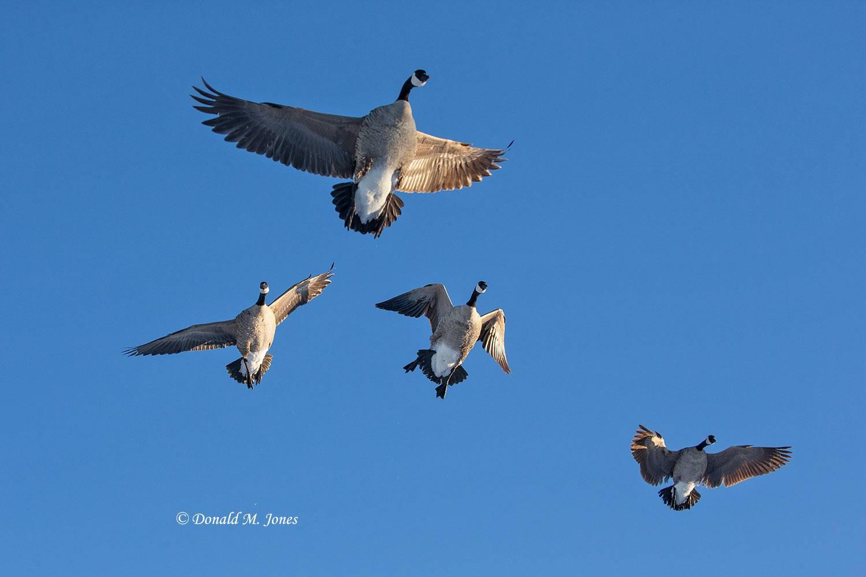 Canada-Goose1489D