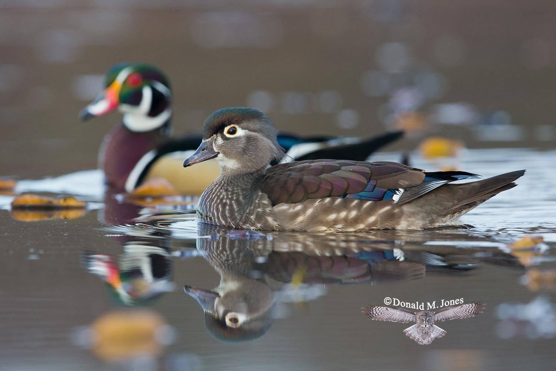 Wood-Duck0465D