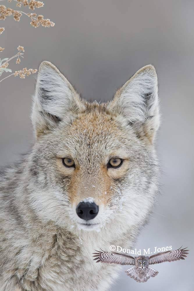 Coyote01982D
