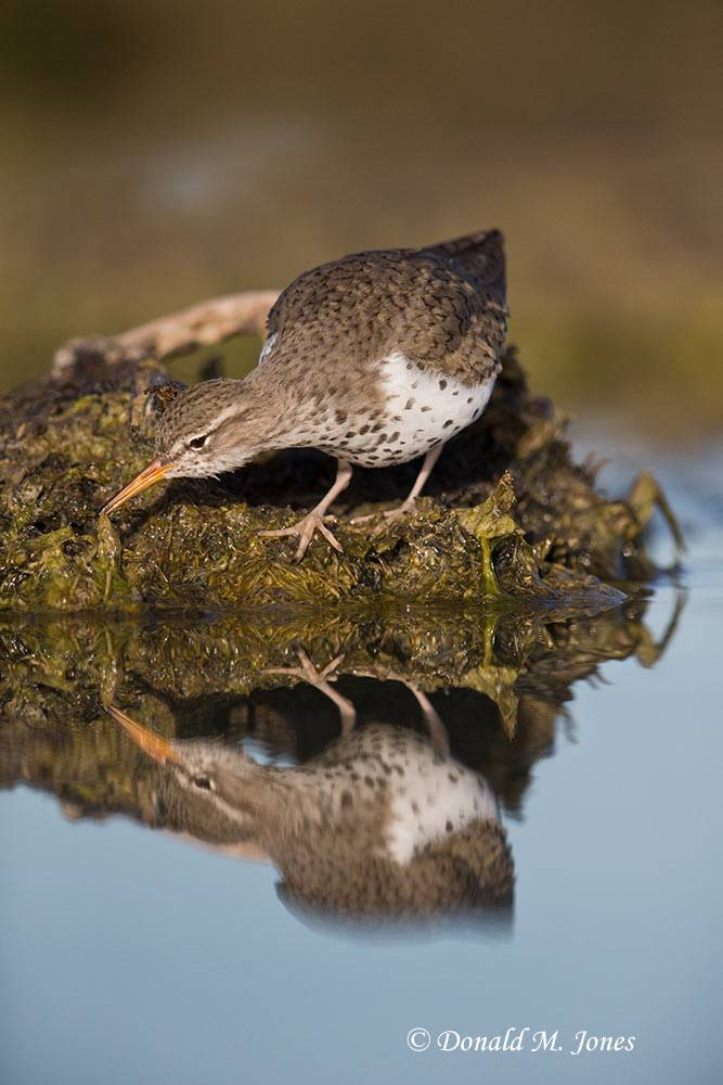 Spotted-Sandpiper0152D