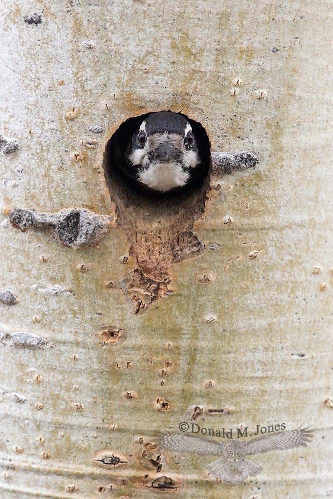 May 25 Hairy Woodpecker at cavity entrance