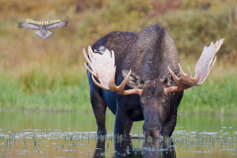 Moose03082D
