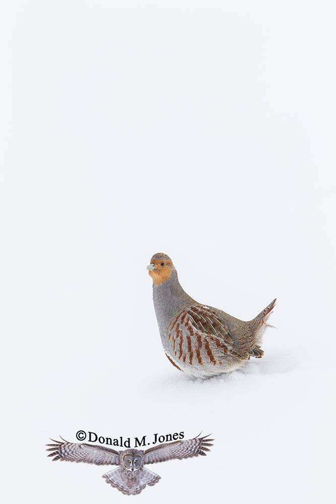 Hungarian-Partridge0174D