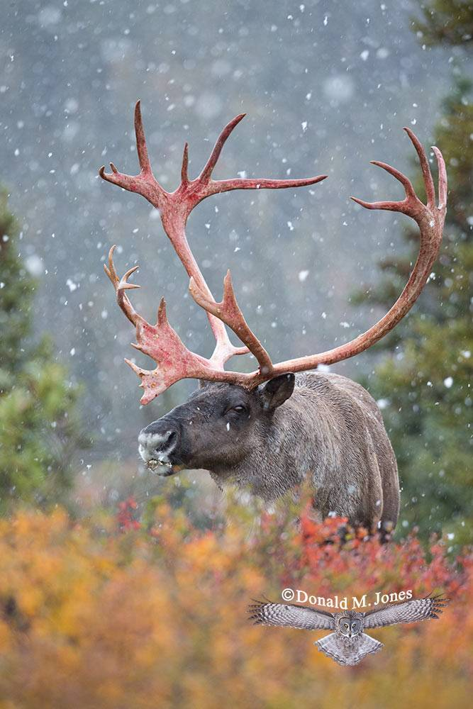 Barren-Ground-Caribou03493D