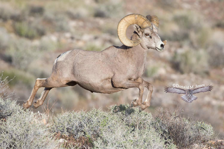 Desert-Bighorn-Sheep00815D