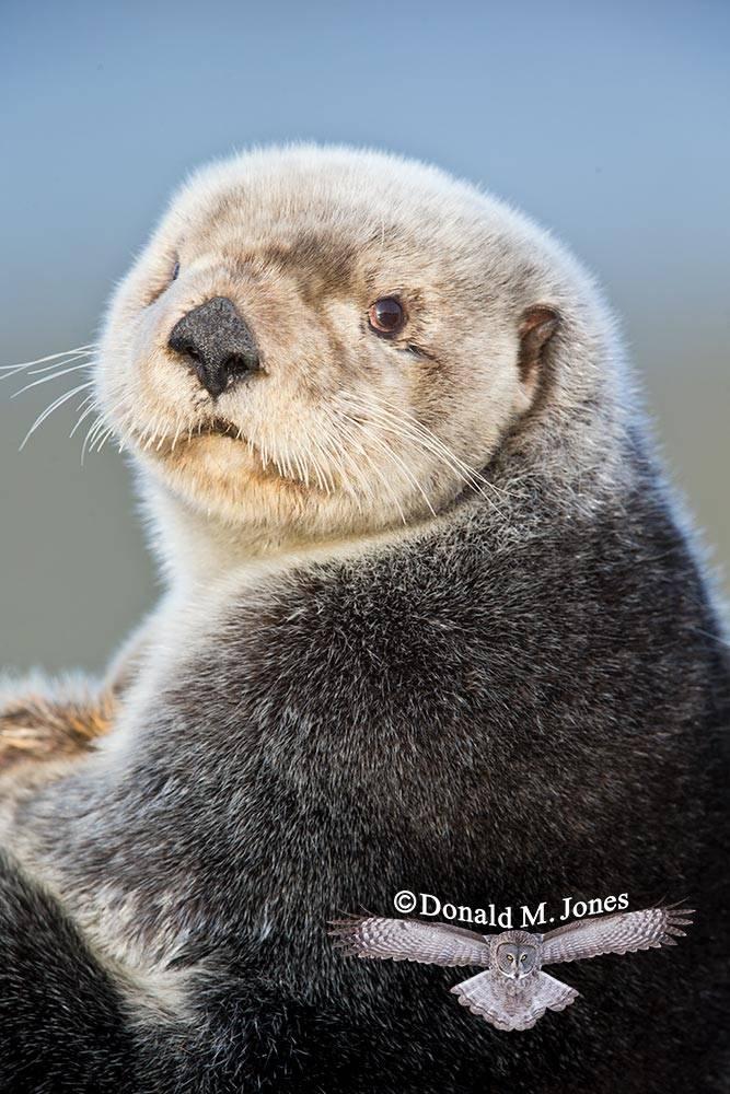 Sea-Otter0495D