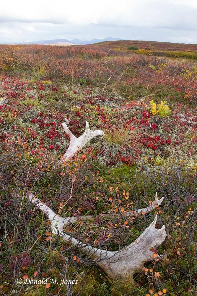 Barren-Ground-Caribou02332D