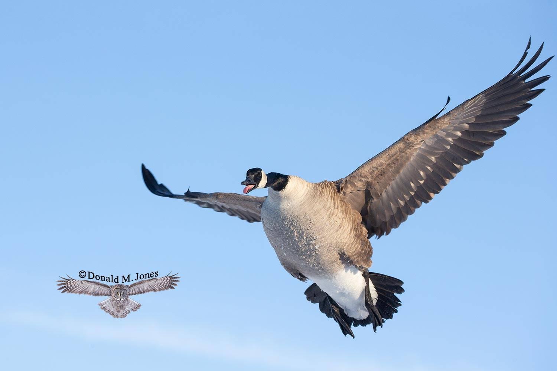 Canada-Goose1493D
