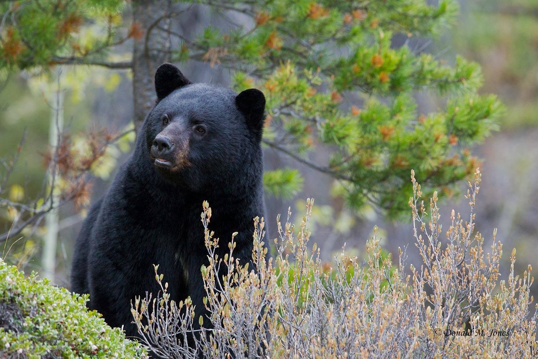 Black-Bear06075D