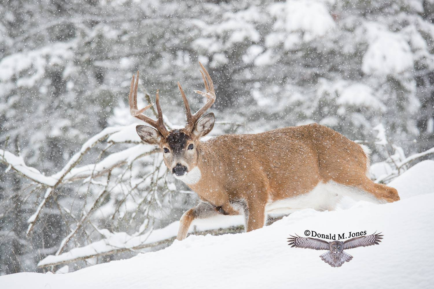 Whitetail-Deer55038D