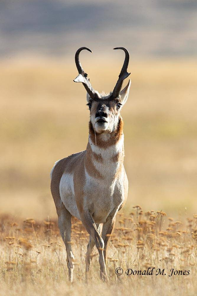 Pronghorn-Antelope06238D