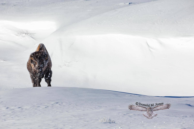 Bison2734D Life at 38 below zero