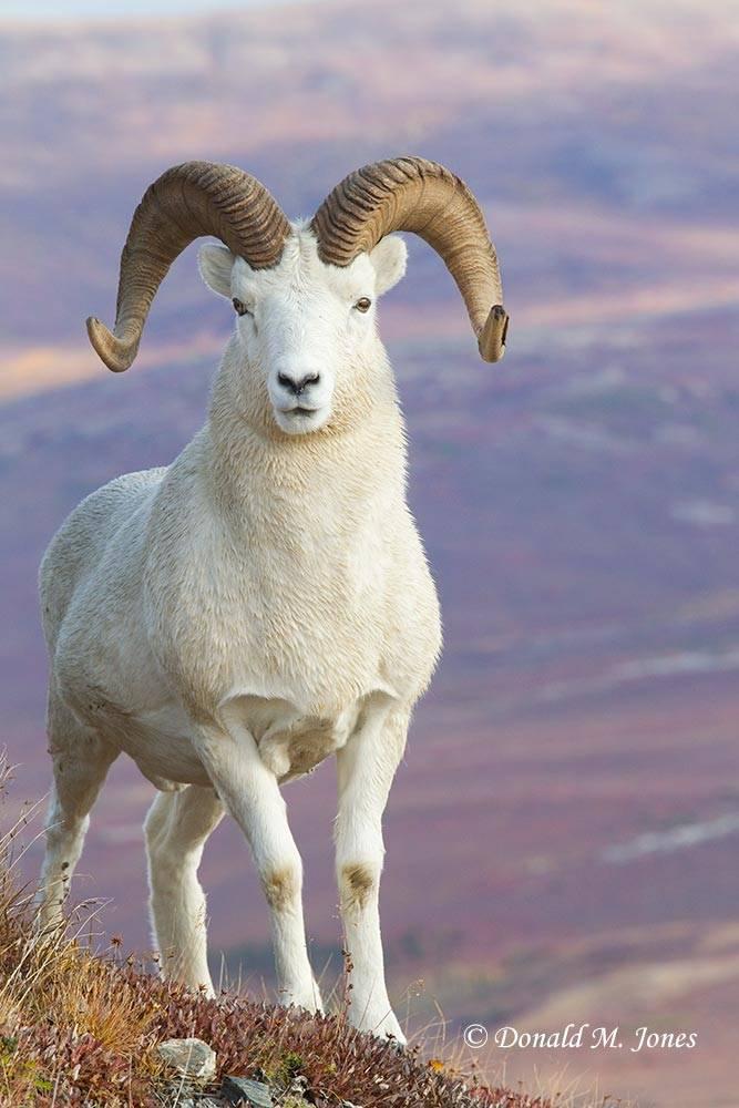 Dall-Sheep01427D