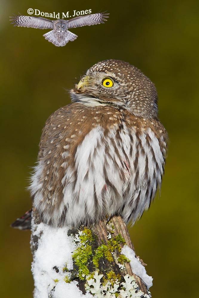 Northern-Pygmy-Owl0700D