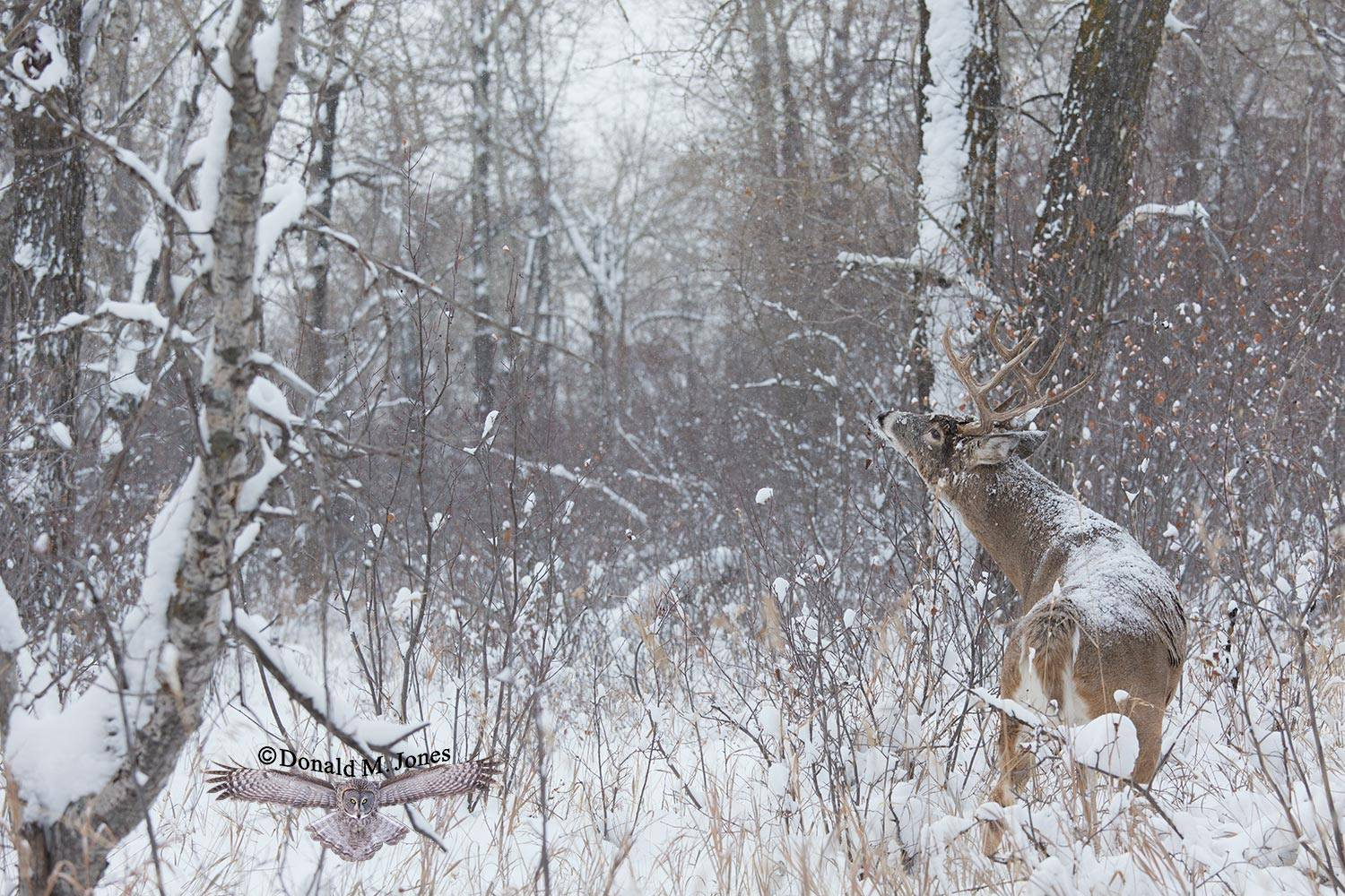 Whitetail-Deer44997D