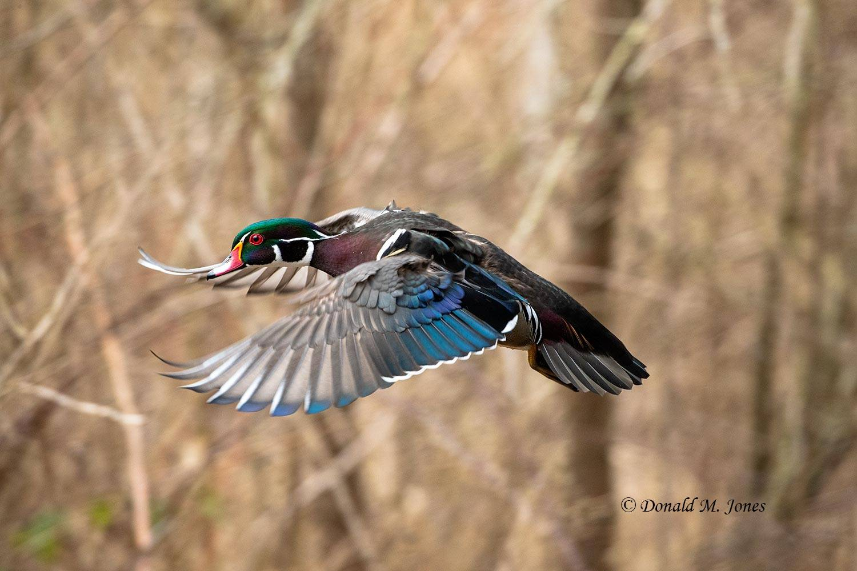 Wood-Duck0783D