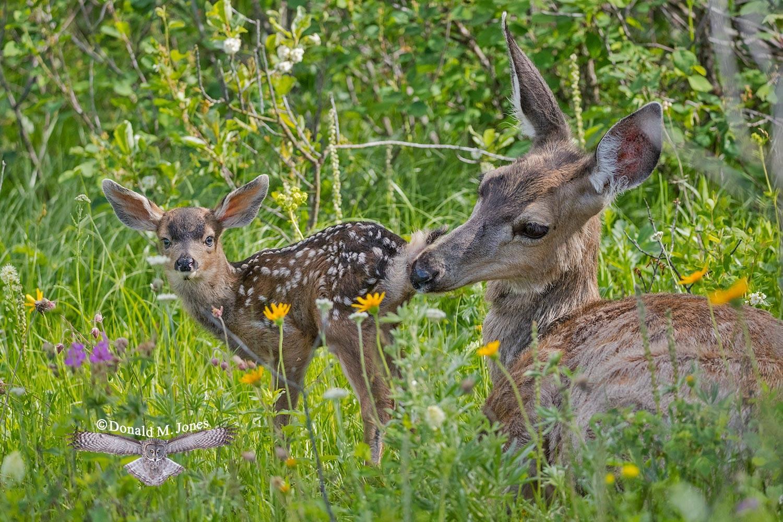 Mule-Deer10956D