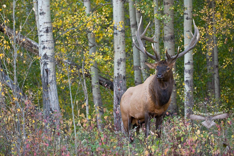 Elk-(Rocky-Mtn)20633D