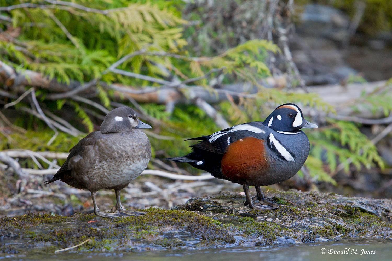Harlequin-Duck0521D