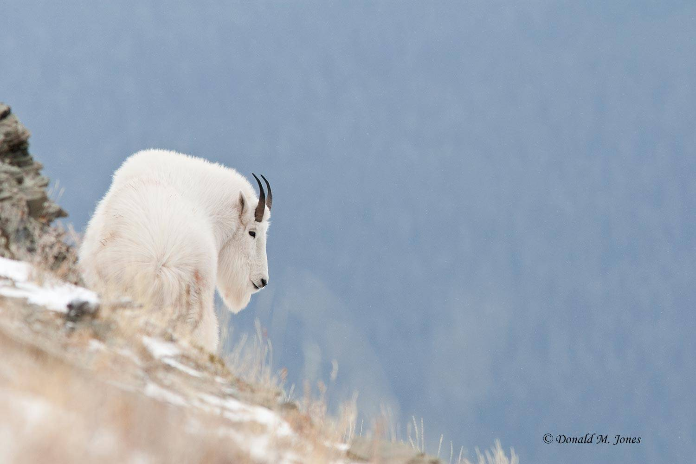 Mountain-Goat02222D