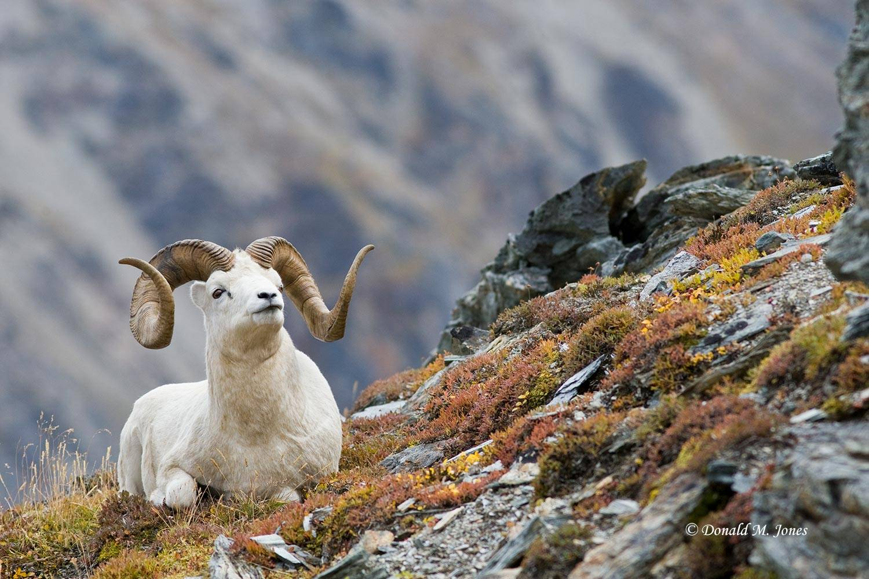 Dall-Sheep01169D