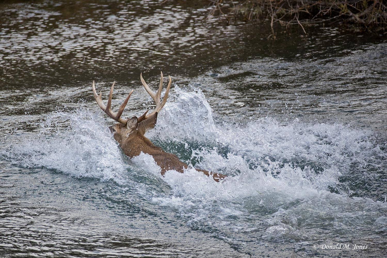 Whitetail-Deer53560D