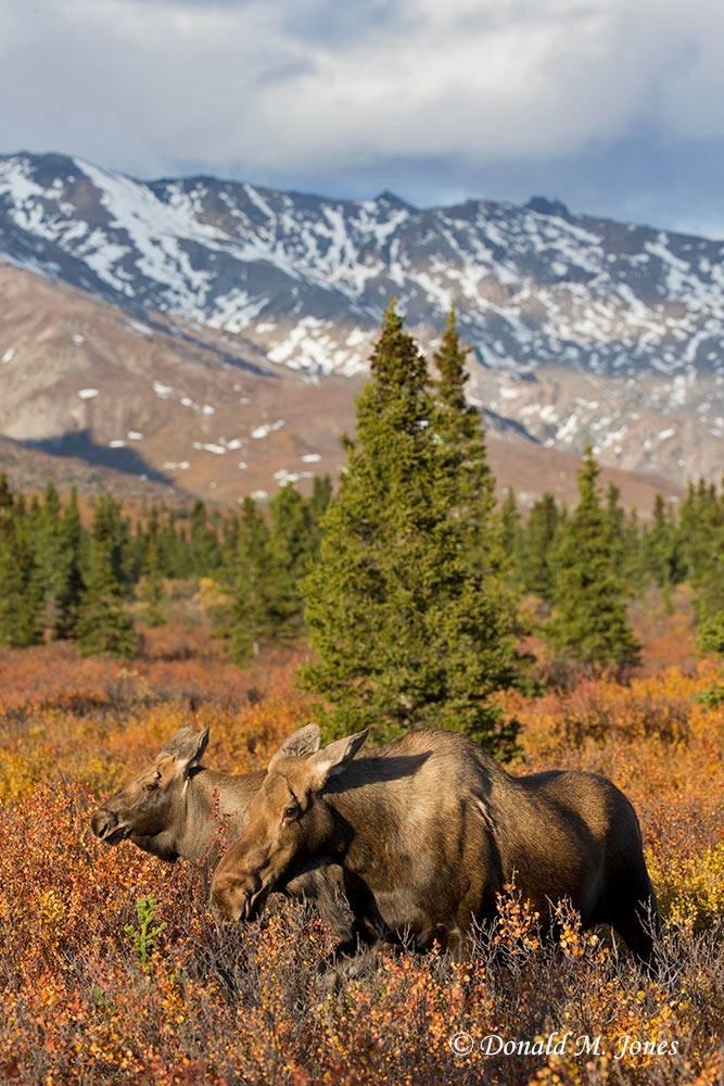 Moose05508D