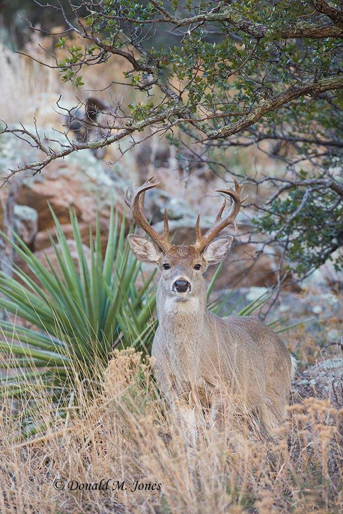 Coues-Whitetail-Deer1036D