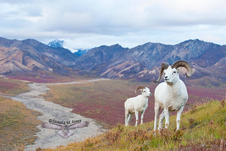 Dall-Sheep01262D