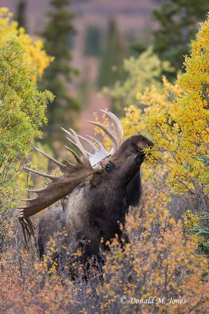 Moose06140D