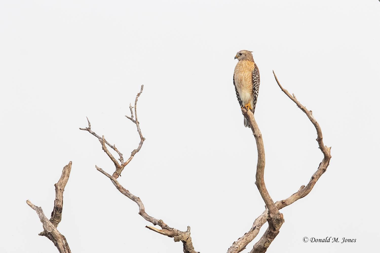 Red-shouldered-Hawk0134D