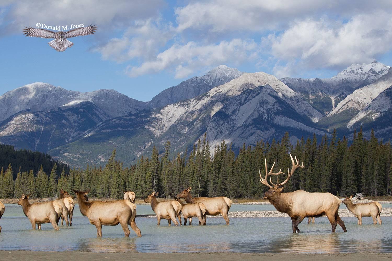 Elk-(Rocky-Mtn)21895D