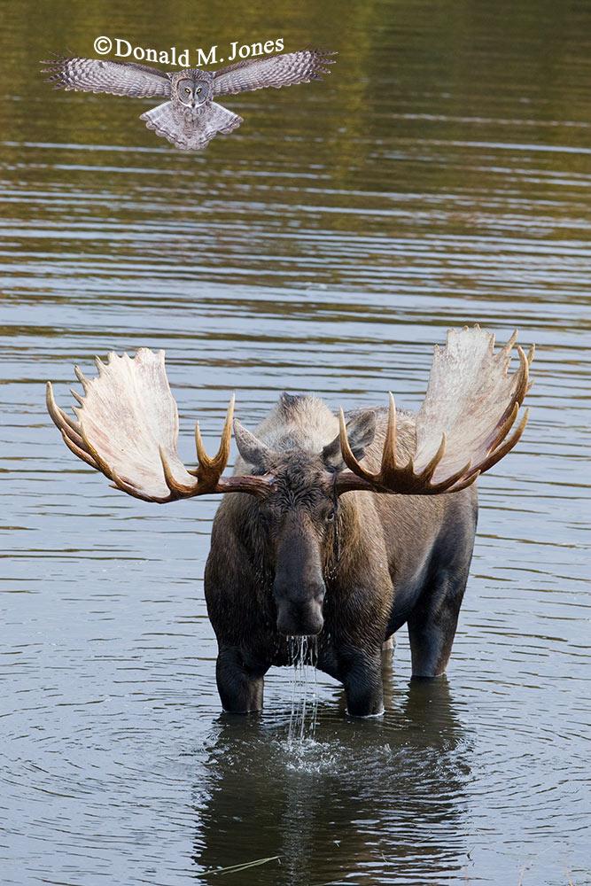 Moose02732D