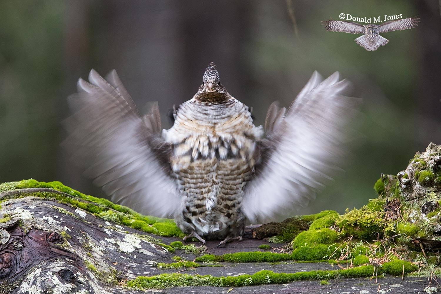 Ruffed-Grouse0483D