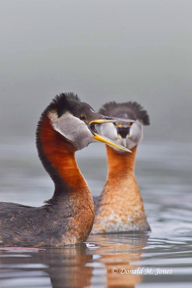 Red-neck-Grebe0422D