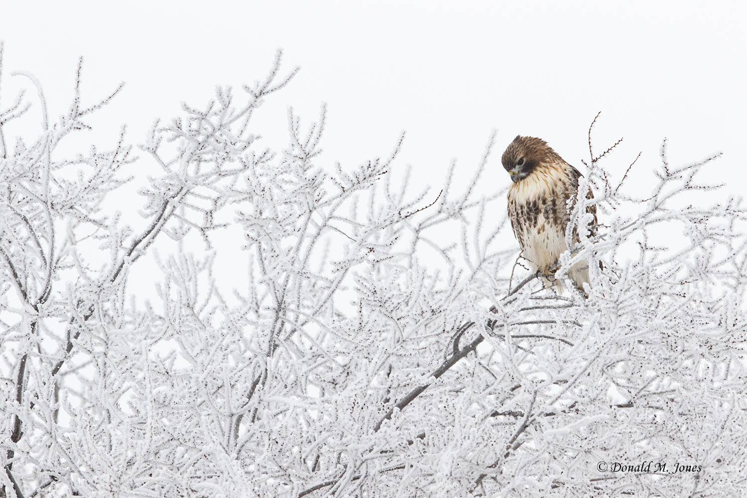 Red-tailed-Hawk0448D