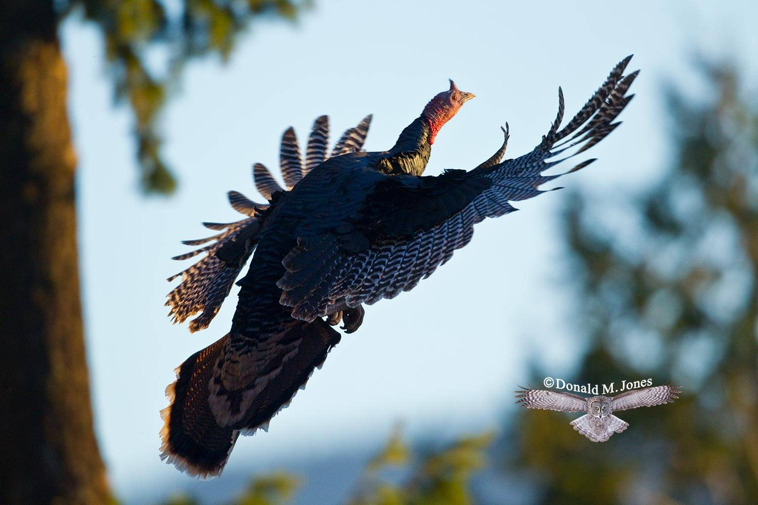 Wild-Turkey-(Merriams)10407D