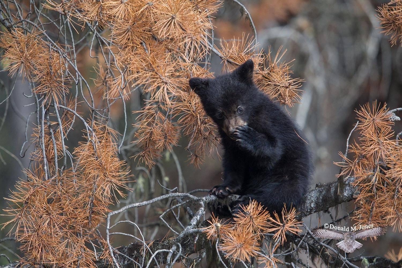 Black-Bear07812D