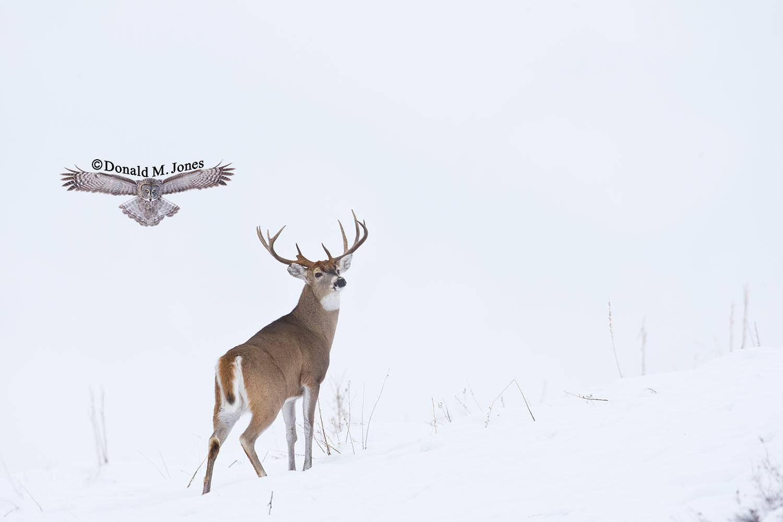 Whitetail-Deer33460D