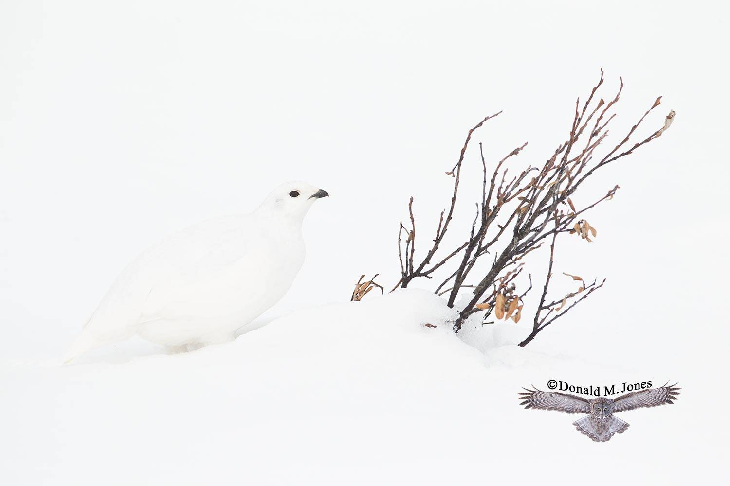 White-tailed-Ptarmigan0390D
