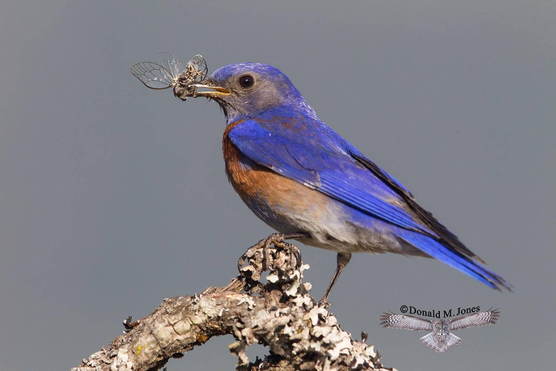 Western-Bluebird0900D