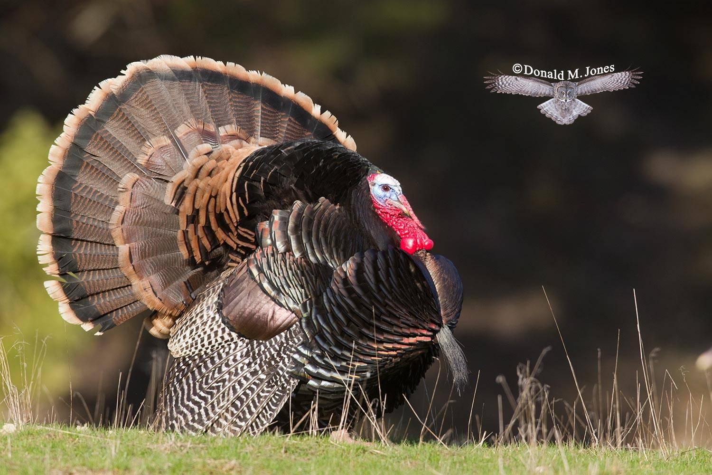 Wild-Turkey-(Merriams)09446D