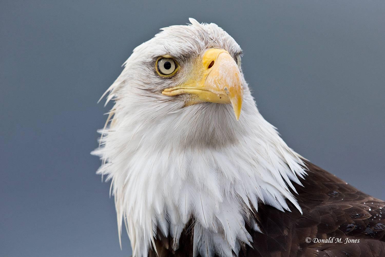 Bald-Eagle0869D