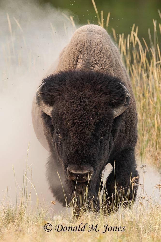 American-Bison03060D