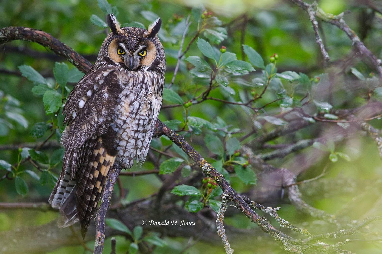 Long-eared-Owl0111D