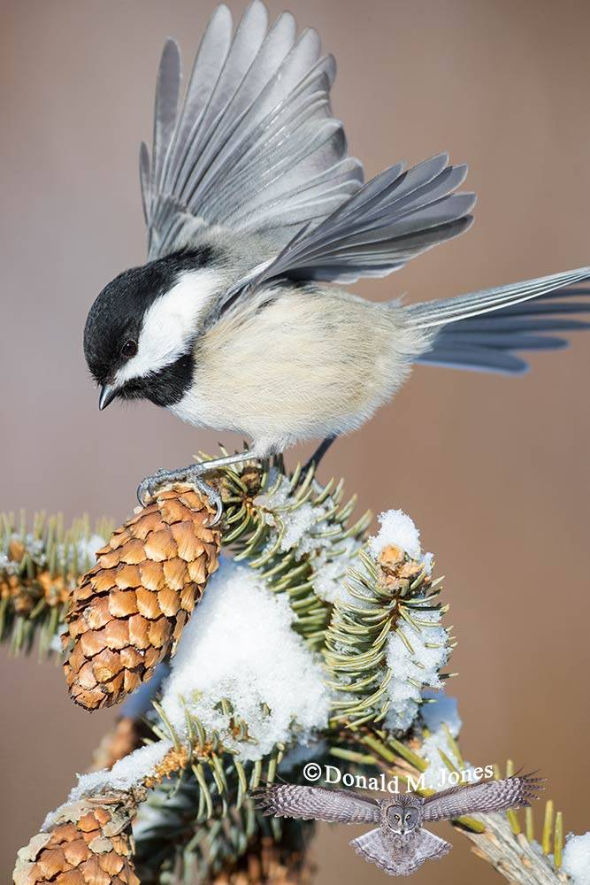 Black-capped-Chickadee0529D